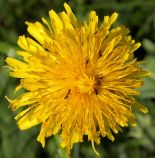 """""""Dandelion and ants"""" by Tiia Monto, Finland."""