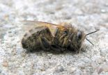 Dead bee in winter by Chacallot.