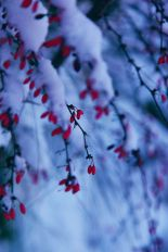 """""""Red Winter Berries in Snow"""" by D. Sharon Pruitt of Pink Sherbet Photography."""