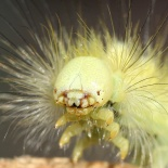 Head of a Calliteara pudibunda caterpillar. Photo courtesy of Waugsberg, 25 August 2006.